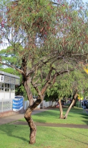A street tree in a Sydney suburb. The tree is just about 6 m high.