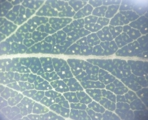 Leaf venation and oil glands in a fresh leaf viewed with transmitted light. The yellow white structure in the middle is the midrib.