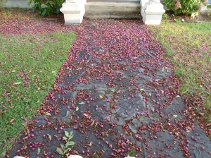 Crushed fruits and seeds scattered along the footpath under the trees make the footpath colourful.
