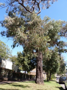 Another street tree in a Sydney suburb